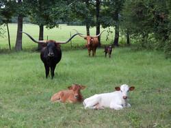 Longhorn Cattle Ranch