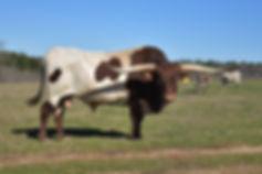Texas Longhorn Bull.JPG
