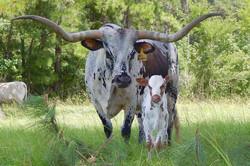 Y4 Registered Texas Longhorns