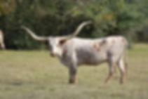 Texas Longhorn Cow - Y4 Longhorns