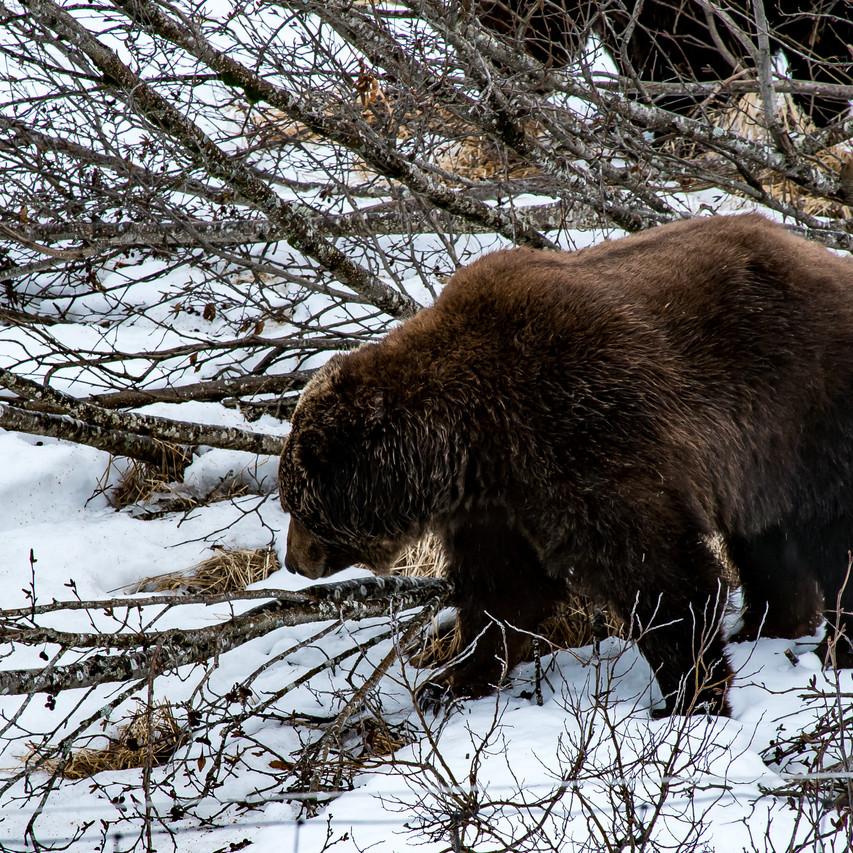 Alaska Wildlife Conservation For Print-5