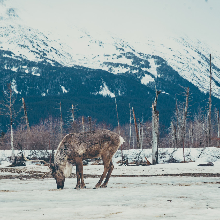 Alaska Wildlife Conservation For Print-8