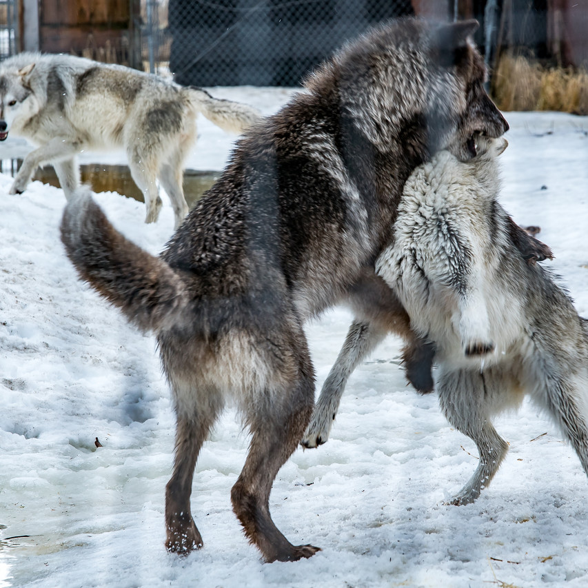 Alaska Wildlife Conservation For Print-6
