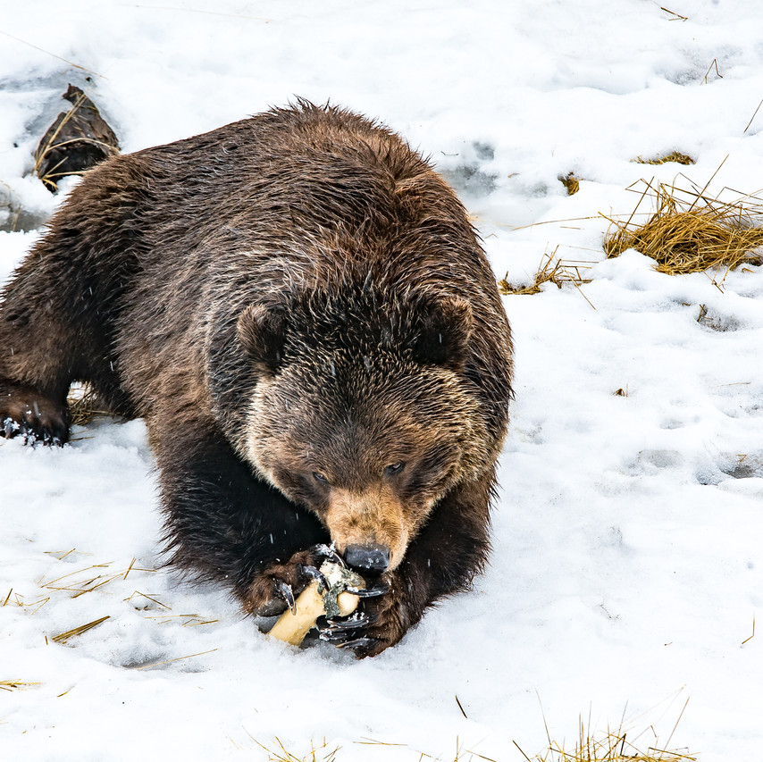 Alaska Wildlife Conservation For Print-1