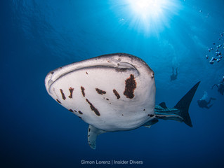 Whalesharks with Parasites