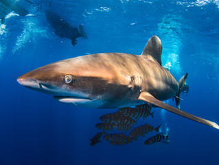 Red Sea - Sharks Galore