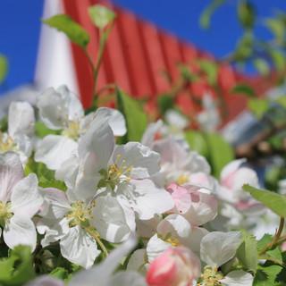 Pommiers en fleurs Auberge les Etchemins