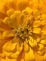 Yellow Zin.JPG