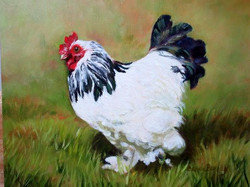 White Rooster with Black feathers in