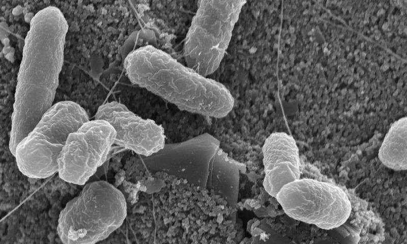 A scanning electron microscope image of E. coli bacteria