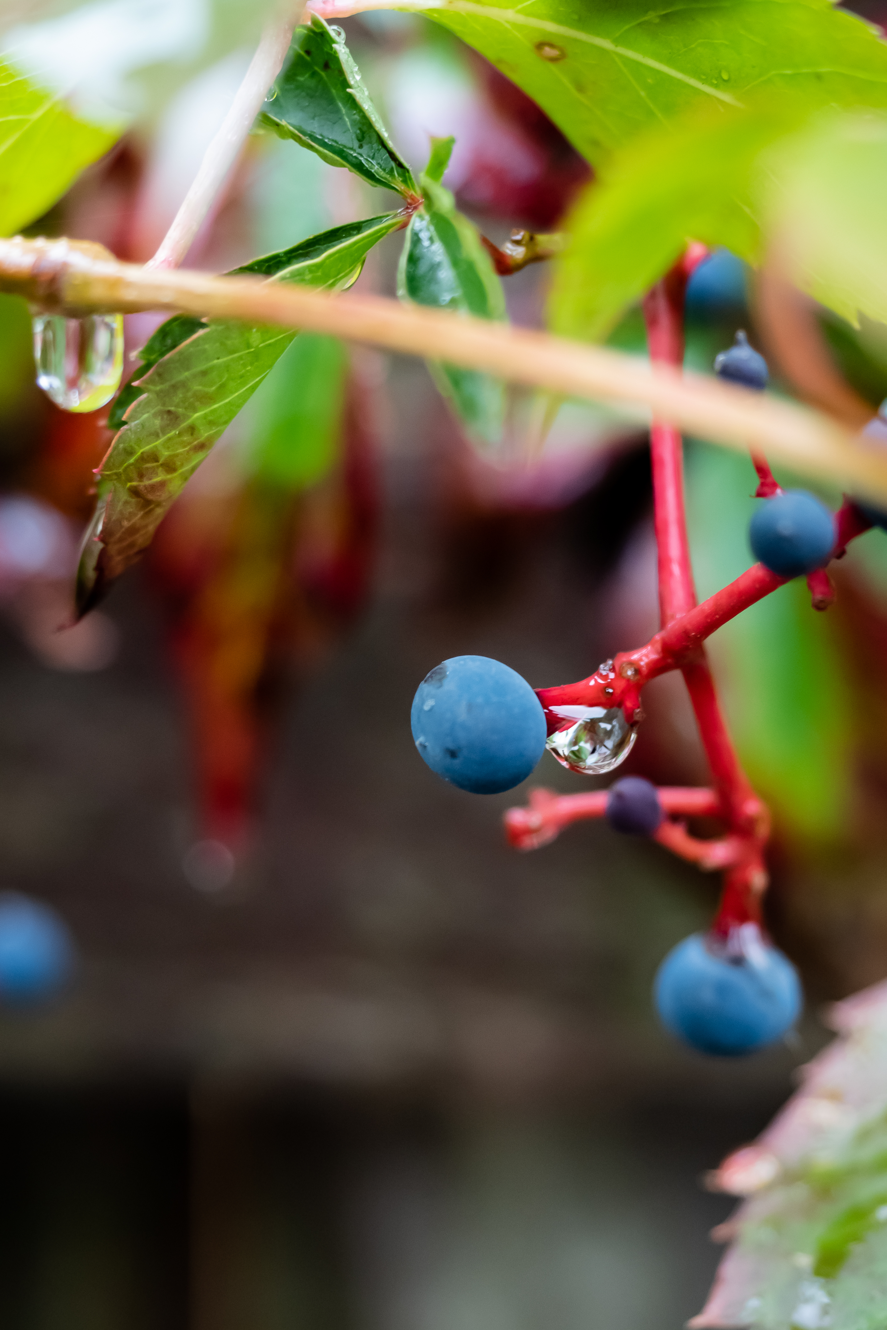 blue berry 1