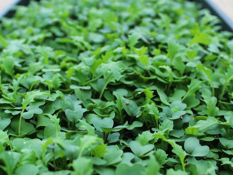 Have you had your microgreens yet today?