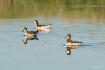 Red-necked and Wilson's Phalaropes