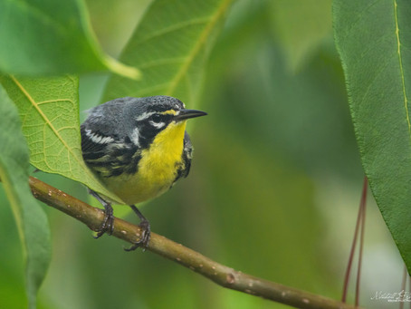 Flyway Highway Part I: The Warblers