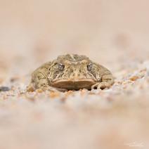 Woodhouse's Toad (Anaxyrus woodhousii)