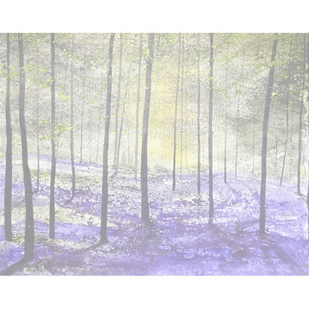 Bluebells_edited.jpg