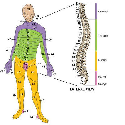An informational graphic with a diagram of a person on the left and a spinal cord on the right, showing what parts of the spinal cord control which body parts.
