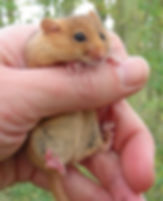 Dormouse Fineshade wood
