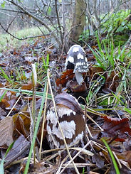 Fineshade Wood fungus Magpie Inkcap