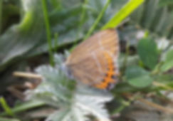 Black Hairstreak.jpg