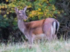 Fineshade Wood Fallow Deer