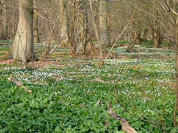 Wood Anemones in Fineshade Wood