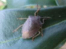 Fineshade Wood Shieldbug