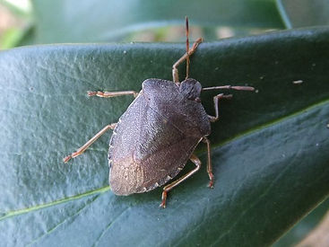 Fineshade Wood Shieldbug