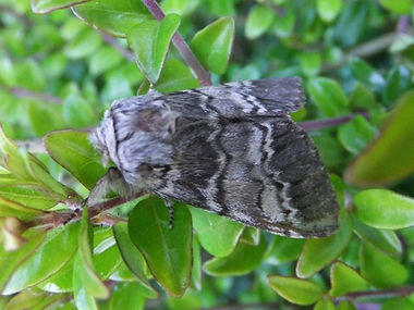 Fineshade Wood Lunar Marbled Brown