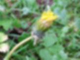 Fineshade Wood Dandelion