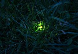 GlowwormMatRumbelow.JPG