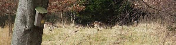 Grazing deer Fineshade Wood