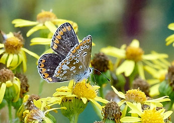 Brown Argus. Photo Roger Eads Fineshade Wood
