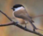 Wineshade Wood Marsh Tit
