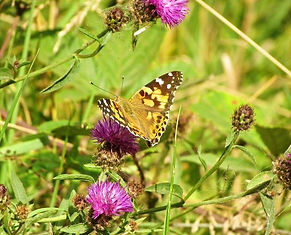 Painted Lady in Fineshade Wood Photo: Marion Ashby