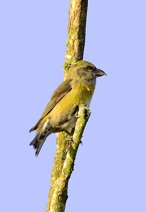 Crossbill Fineshade Wood