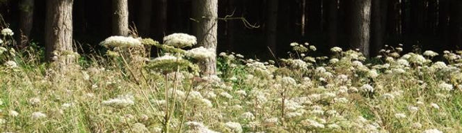 Fineshade Wood Angelica