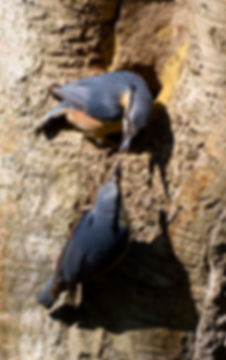 Nuthatches Fineshade Wood