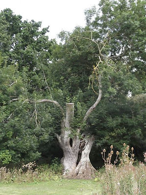 Ancient Ash in Fineshade Wood