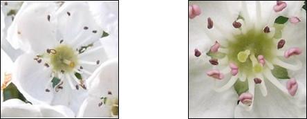 Comparison of Common and Midland blossom