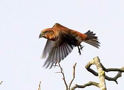 Fineshade Wood Crossbill