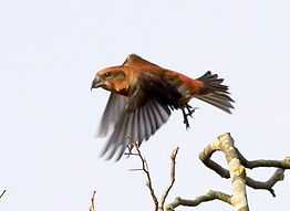 Fineshade Wood Crossbill