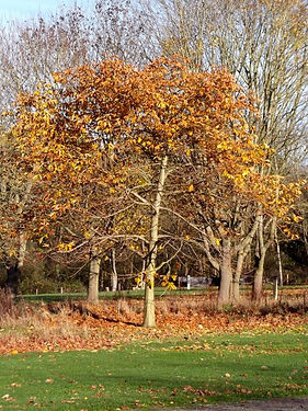 Horse Chestnut  in Fineshade