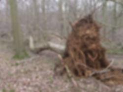 ineshade Wood storm damage