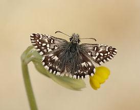 Grizzled Skipper_Iain H Leach, Butterfly