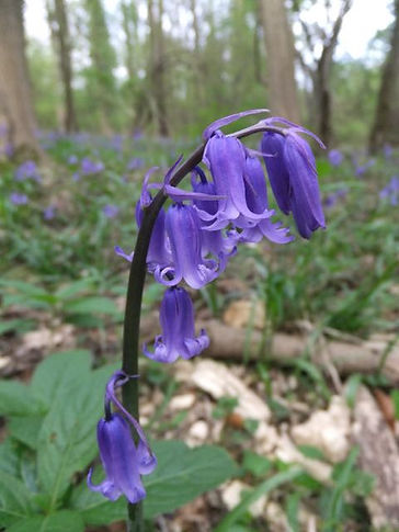 Fineshade wood bluebell