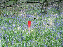 Stake in bluebells Fineshade Wood