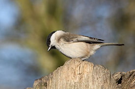 Fineshade Wood Willow Tit