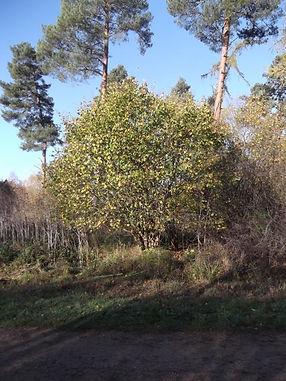 Hazel  in Fineshade Wood