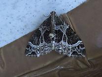 Fineshade Wood Small Phoenix Moth
